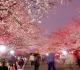 12 Taman Sakura Di Jepang Tujuan Wisataan Dunia